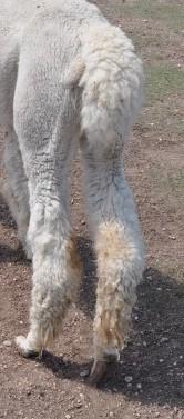 Rear Legs